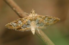 Lepidotteri 1 Fotografia Stock Libera da Diritti
