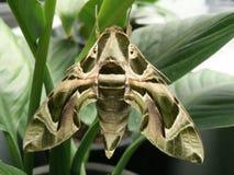 lepidotteri Immagini Stock