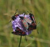 lepidotteri di Burnet del Sei-punto su Scabious Fotografia Stock
