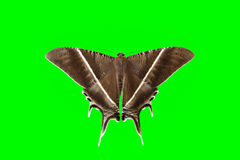 Lepidotteri, farfalla Immagine Stock Libera da Diritti