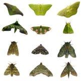Lepidotteri verdi Fotografie Stock Libere da Diritti