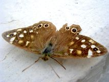 Lepidottero Immagini Stock Libere da Diritti