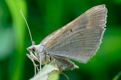 Lepidottero Immagine Stock