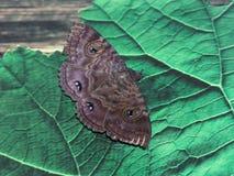 Lepidottero Fotografie Stock Libere da Diritti