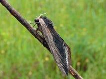 Lepidottero Immagini Stock