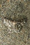 Lepidottero Fotografie Stock