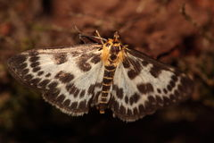 Lepidottero. Fotografie Stock