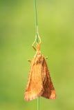 Lepidottero arancio Fotografia Stock Libera da Diritti