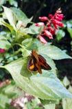 Lepidottero arancio australiano del dardo della palma (Cephrenes) fotografia stock libera da diritti