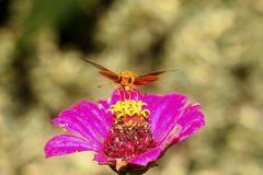Lepidottero arancio dorato Fotografie Stock Libere da Diritti
