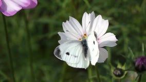 Lepidottero bianco archivi video