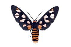 Lepidottero bianco della vespa dell'antenna, nigriceps di Amata Immagine Stock