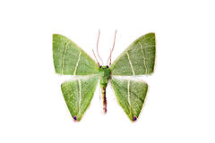 Lepidottero, bipunctifera di Urolitha Fotografie Stock