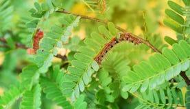 Lepidottero Caterpillar Fotografia Stock Libera da Diritti