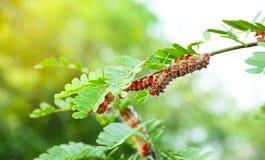 Lepidottero Caterpillar fotografia stock
