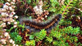 Lepidottero Caterpillar di Fox Fotografia Stock Libera da Diritti