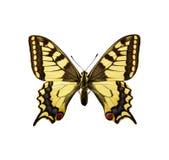 Lepidottero - corsa di Swallowtail Britannici Immagini Stock Libere da Diritti