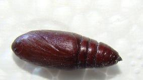 Lepidottero| crisalidi| Vicino su immagini stock