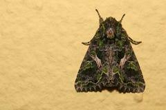 Lepidottero del bietolone (atriplicis della trachea) che si siede sulla parete Fotografia Stock Libera da Diritti