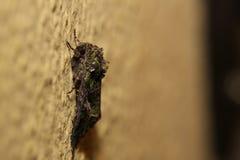 Lepidottero del bietolone (atriplicis della trachea) che si siede sulla parete Fotografie Stock Libere da Diritti