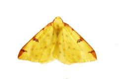 Lepidottero del Brimstone Immagine Stock