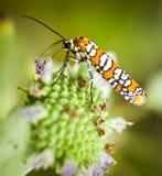 Lepidottero del verme di web di ailanthus su un fiore Immagini Stock