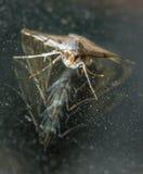 Lepidottero dell'argento e dell'oro con la doppia riflessione da vetro Fotografia Stock Libera da Diritti
