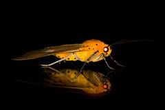 Lepidottero dell'insetto Immagine Stock Libera da Diritti