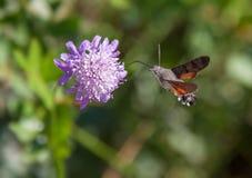 Lepidottero dell'uccello di ronzio Immagini Stock