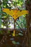 Lepidottero della cometa fotografia stock