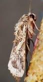 Lepidottero della farfalla Immagine Stock