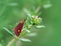 Lepidottero della menta (aurata del pyrausta) sulla pianta del timo Fotografie Stock