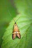 Lepidottero della mucca texana - degeerella di Nemophora Fotografia Stock Libera da Diritti