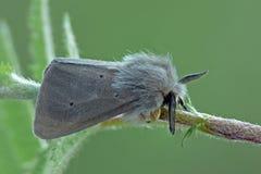 Lepidottero della mussola fotografia stock libera da diritti