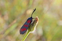 Lepidottero della pimpinella di sei punti nel sole fotografia stock