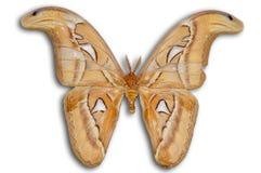 Lepidottero di atlante di notte (Attacus) fotografie stock libere da diritti