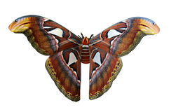 Lepidottero di atlante gigante Immagine Stock