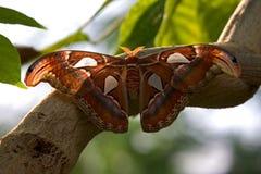Lepidottero di atlante gigante Fotografia Stock
