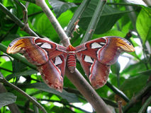 Lepidottero di atlante gigante Immagini Stock