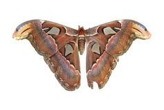 Lepidottero di atlante gigante Fotografia Stock Libera da Diritti