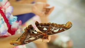 Lepidottero di atlante di riposo Immagini Stock