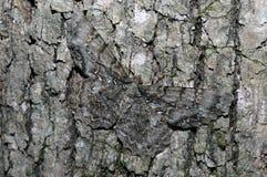 lepidottero di bellezza dell'Tulipano-albero Immagini Stock Libere da Diritti