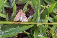 Lepidottero di Brown che riposa sull'erba coperta rugiada immagini stock libere da diritti