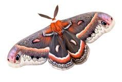 Lepidottero di Cecropia su bianco Fotografia Stock Libera da Diritti