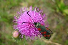 Lepidottero di cinabro Fotografie Stock Libere da Diritti