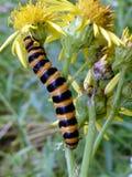 Lepidottero di cinabro Caterpillar Fotografia Stock Libera da Diritti