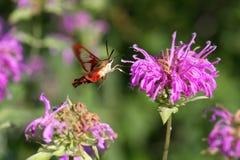Lepidottero di Clearwing del colibrì Fotografie Stock Libere da Diritti