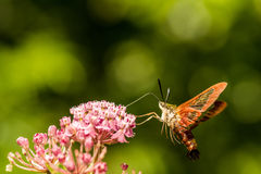 Lepidottero di Clearwing del colibrì Fotografia Stock