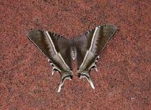 Lepidottero di coda di rondine Fotografia Stock Libera da Diritti