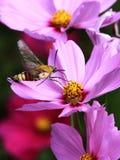Lepidottero di colibrì Immagini Stock